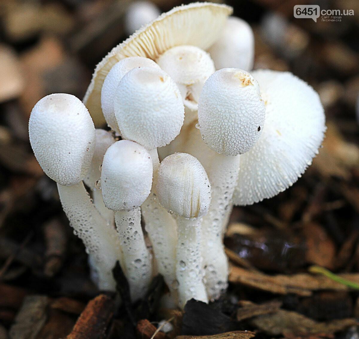 Грибной сезон на Луганщине открыт: как лисичанам не отравиться грибами?, фото-2