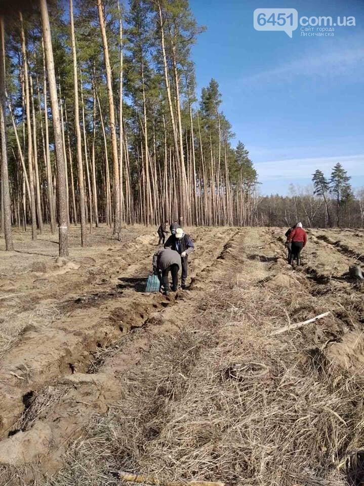 В Новоайдарском лесничестве высадят 450 сосен, фото-2