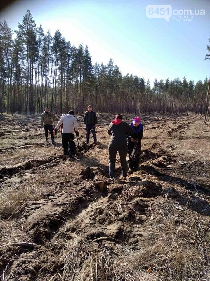 В Новоайдарском лесничестве высадят 450 сосен, фото-3